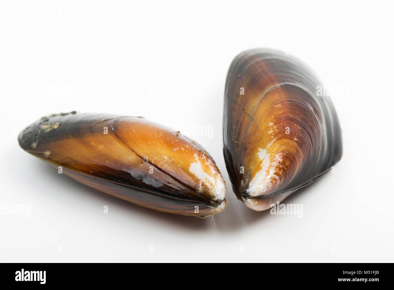 Live, rope-grown mussels, Mytilus edulis, bought from a supermarket. The shells should close when tapped. England - Stock Image
