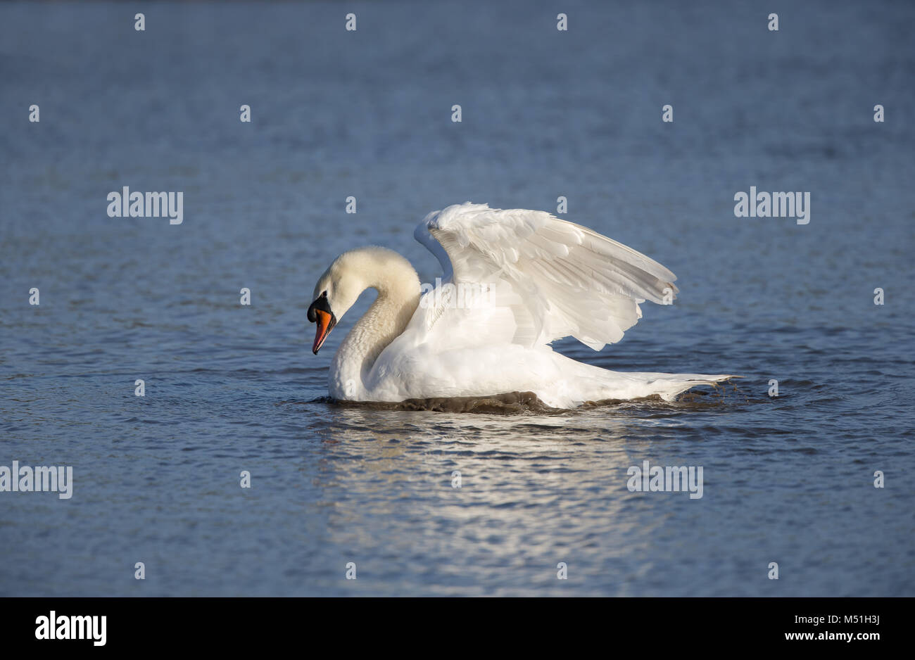 Solitary adult mute swan (Cygnus olor) gliding on rippled water, impressive angel wings held upwards high in the - Stock Image
