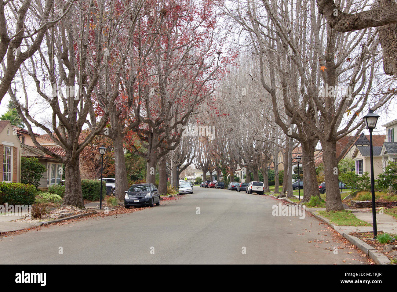 Tall Liquid amber, commonly called sweet gum tree, or American Sweet gum tree, lining an older neighborhood in Northern - Stock Image
