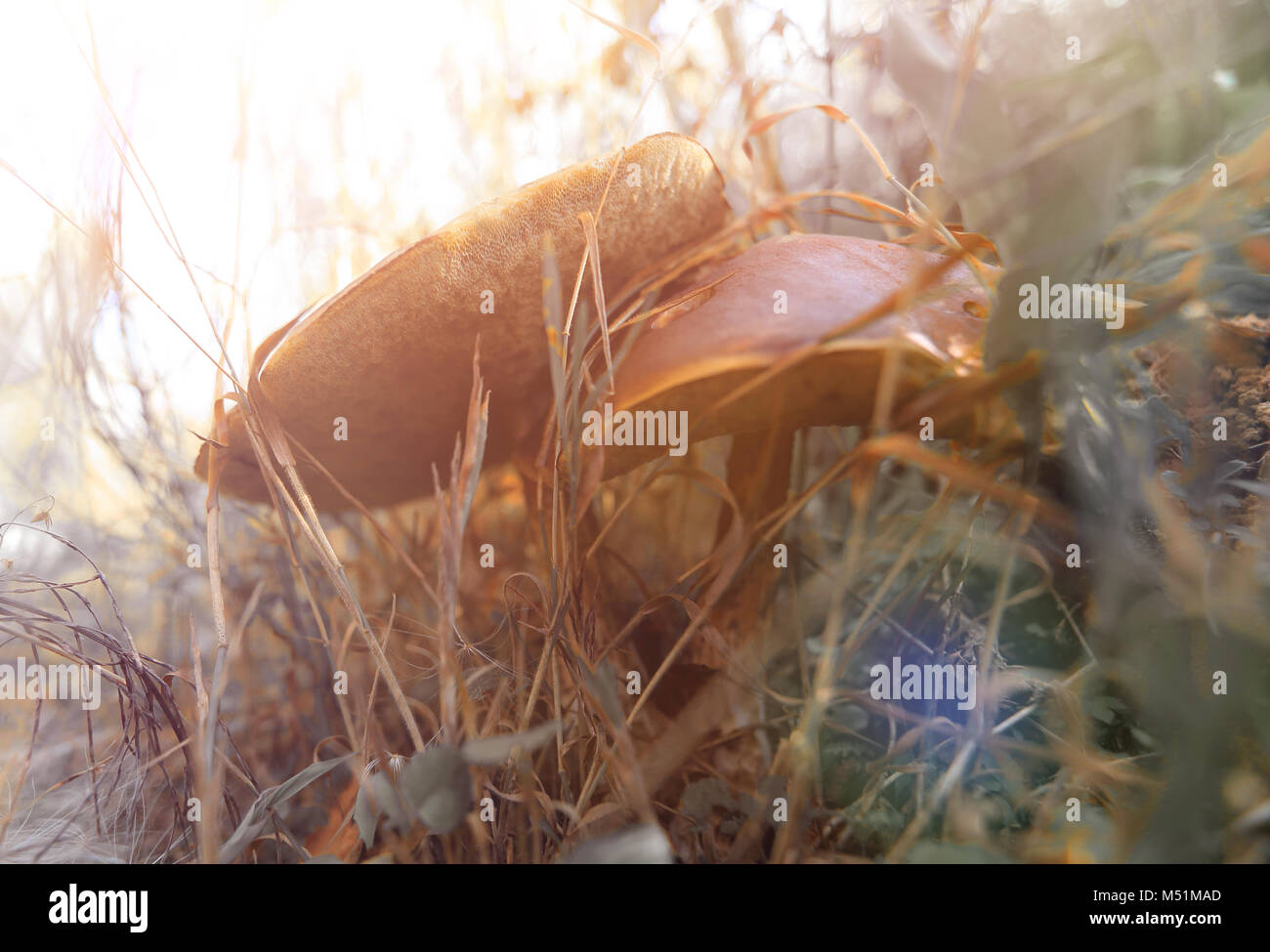mushrooms grow in a forest glade - Stock Image