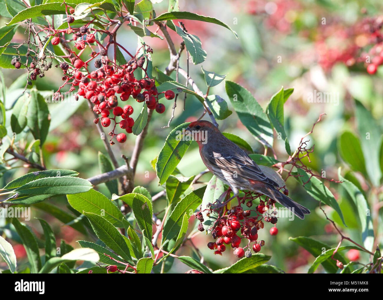 a male house finch in bushes eating red berries. They forage on the ground or in vegetation and primarily eat grains, Stock Photo