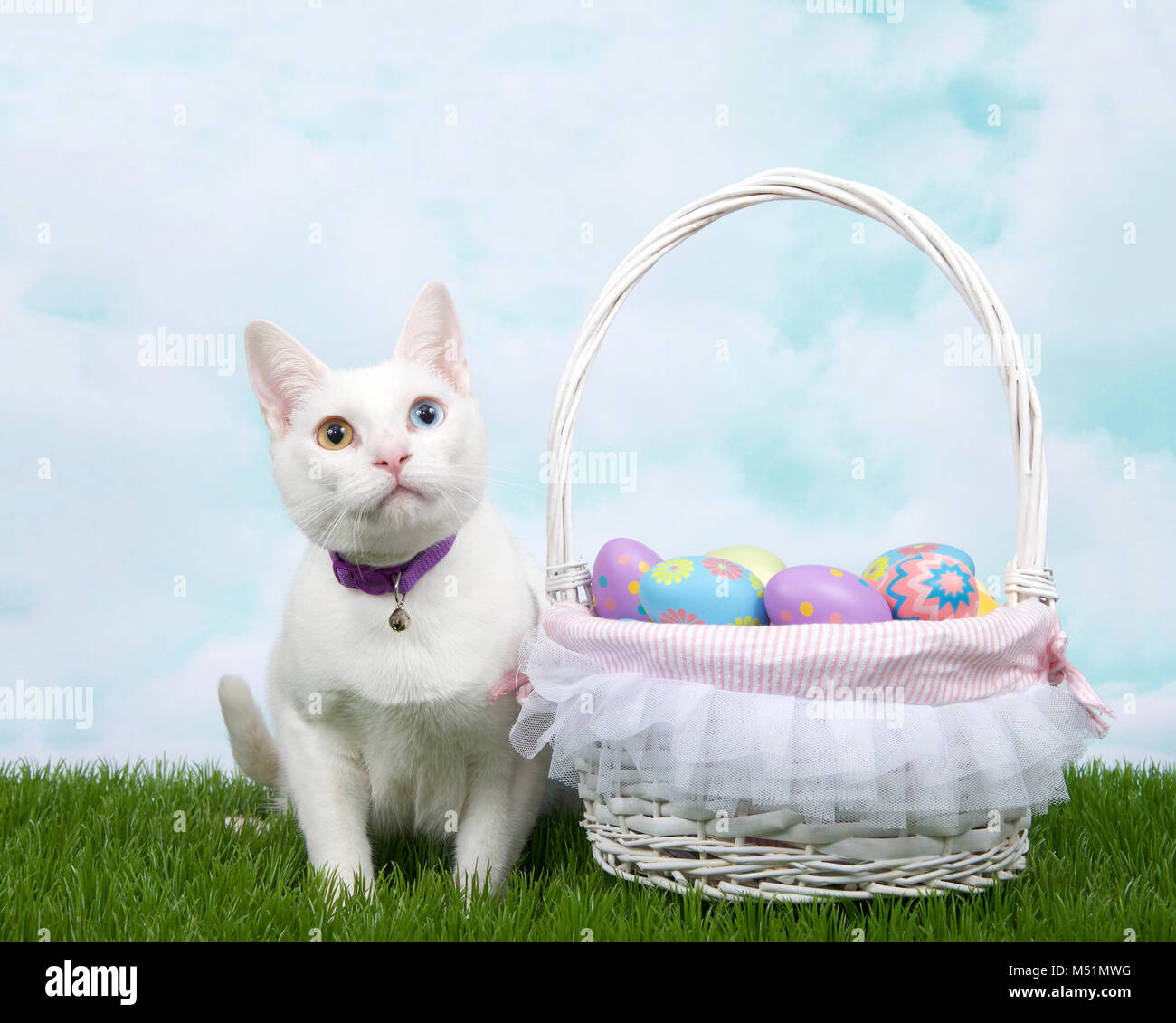 White kitten with heterochromia wearing a purple collar with bell crouched in green grass next to white basket full - Stock Image