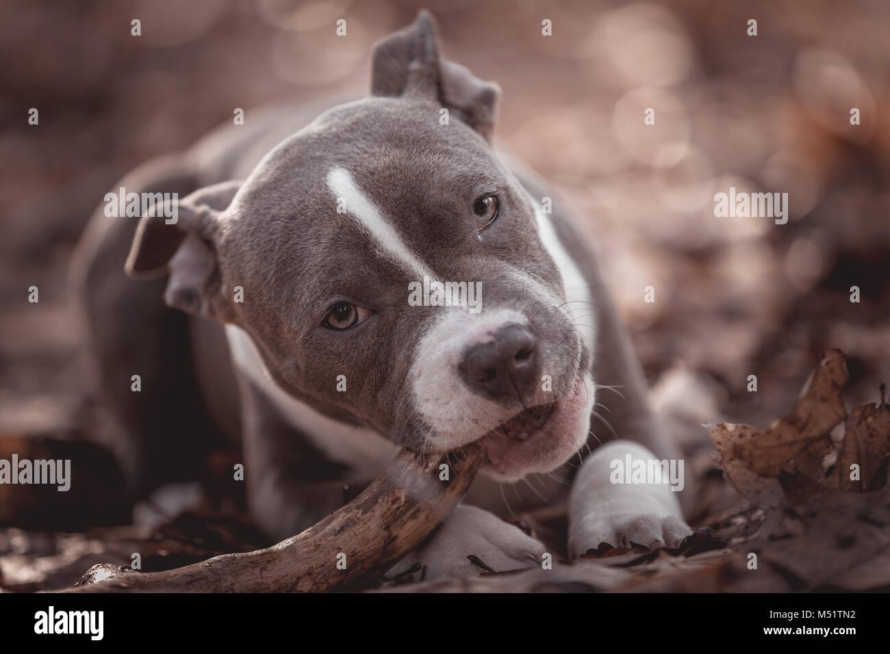 American bully - Stock Image