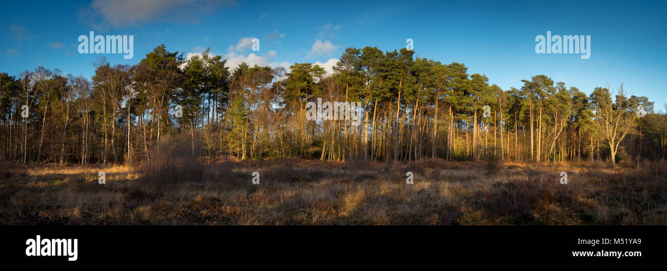 The Trees of Burnham Beeches in Winter - Stock Image