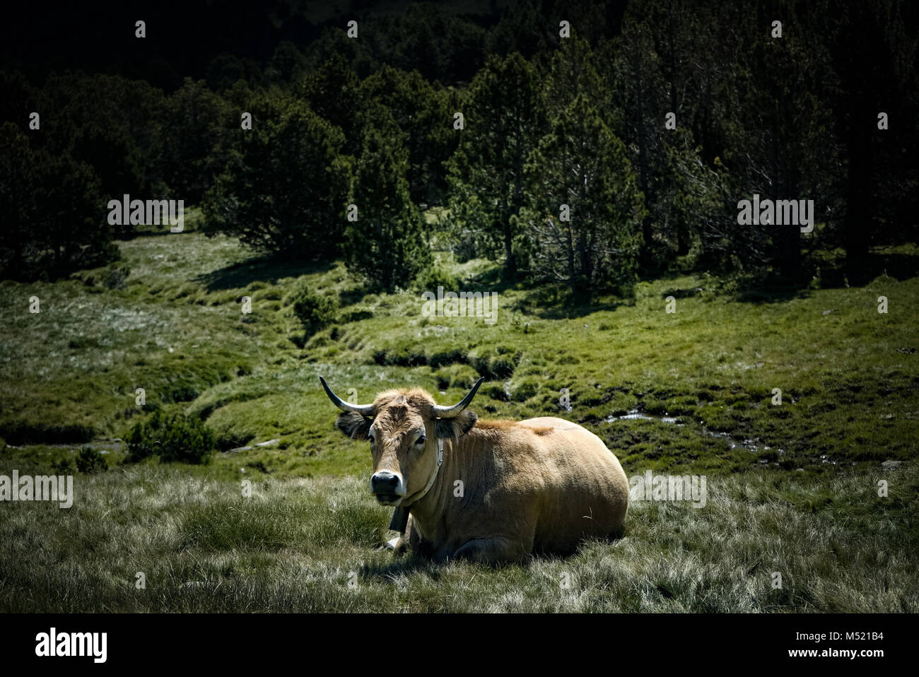 Brown cow ruminating, lying down in mountain pasture in french alps with forest in the background - Stock Image