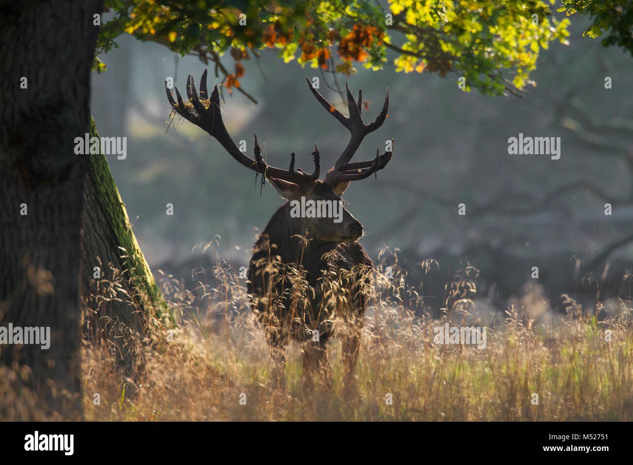 Red deer (Cervus elaphus) stag with antlers covered in mud and vegetation during the rut in autumn forest - Stock Image