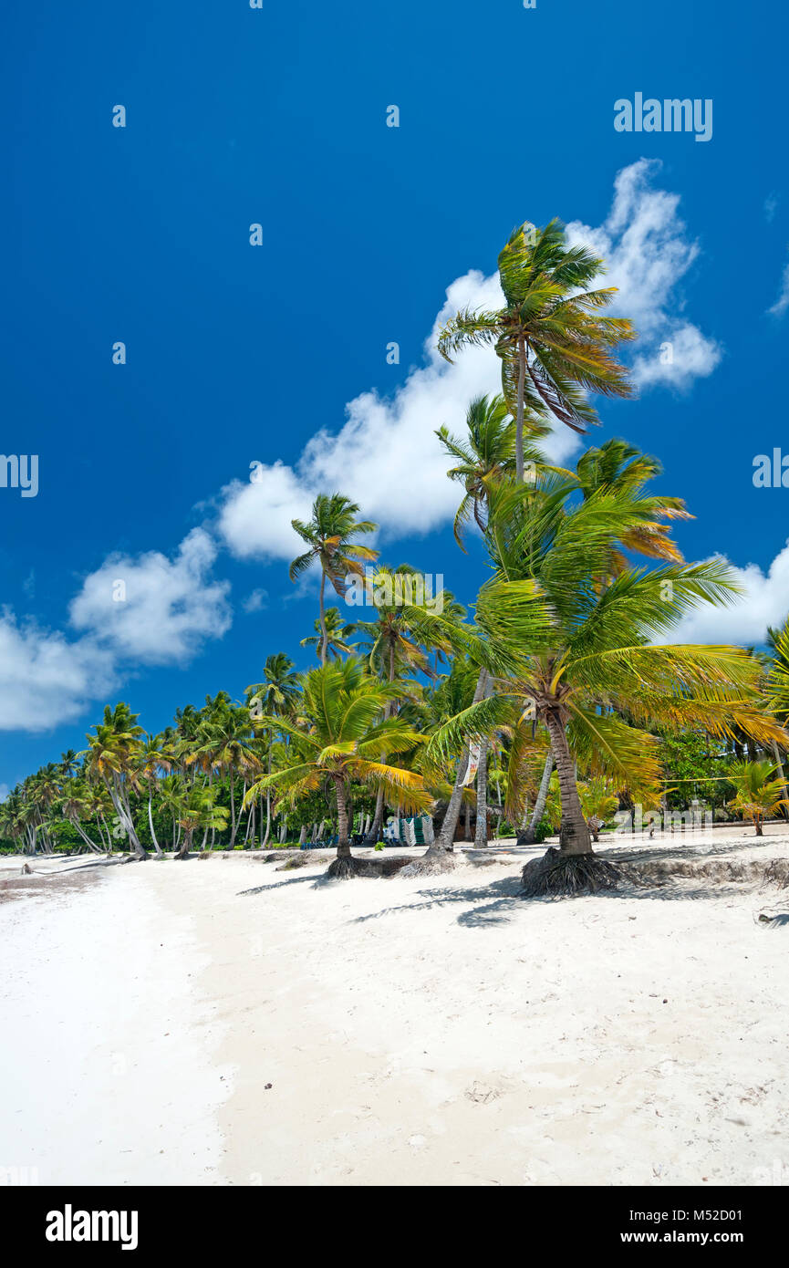 Tropical Caribbean beach with coconut palm trees - Stock Image
