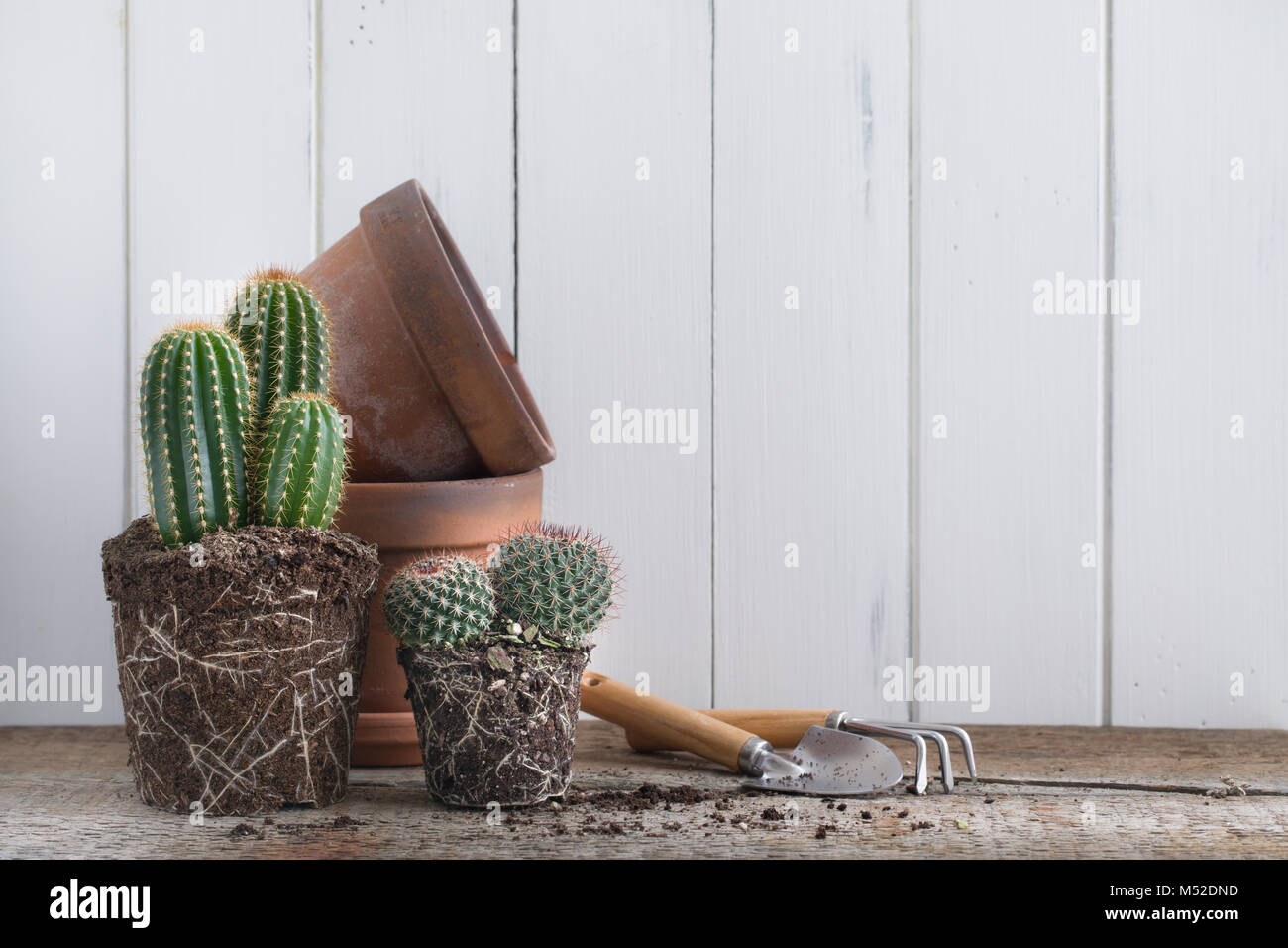 Green Cactus without pot on rustic wooden background. Deadpan style. Realistic. - Stock Image