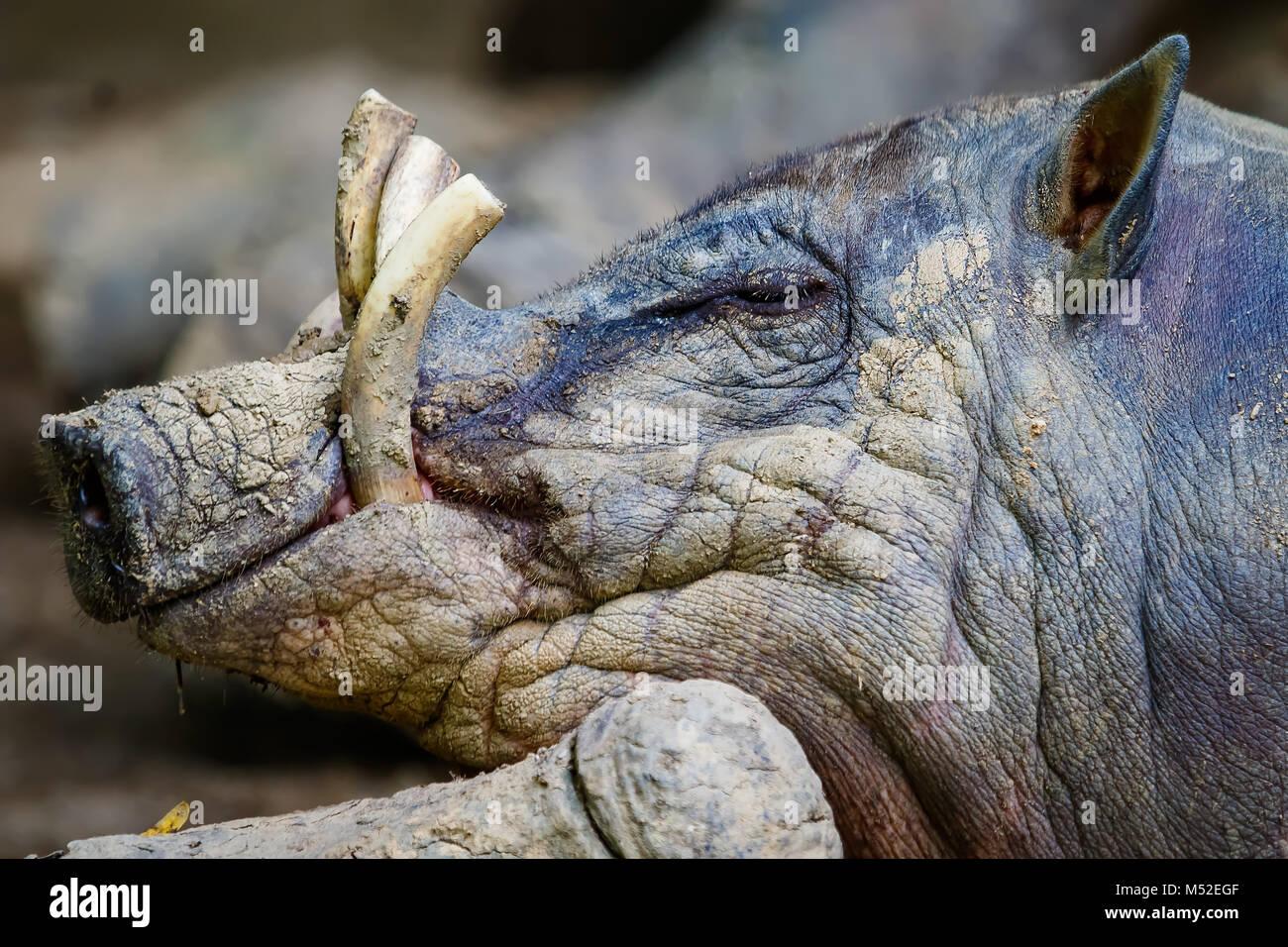 Babirusa Profile - Stock Image