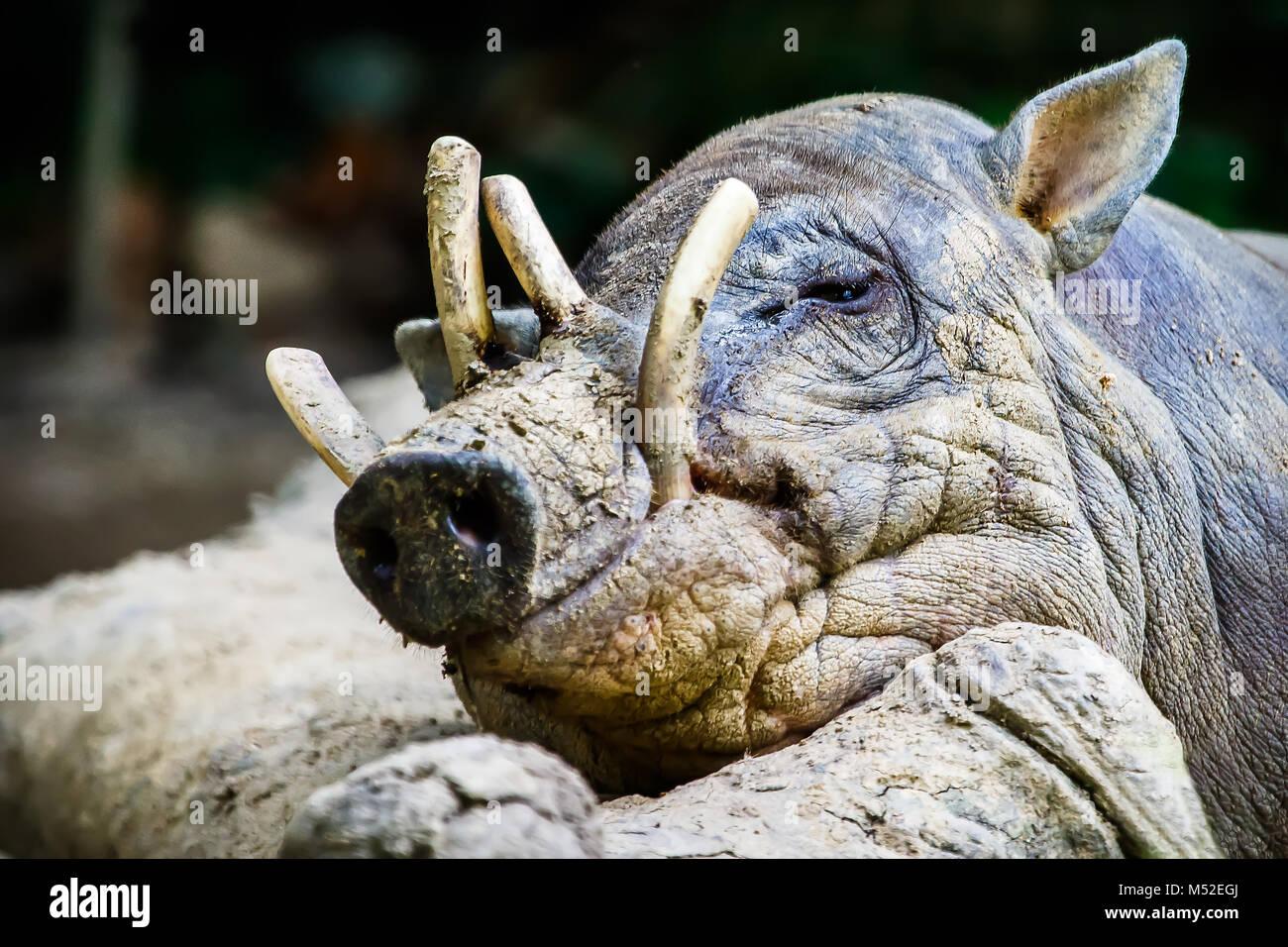 Sleepy Babirusa - Stock Image