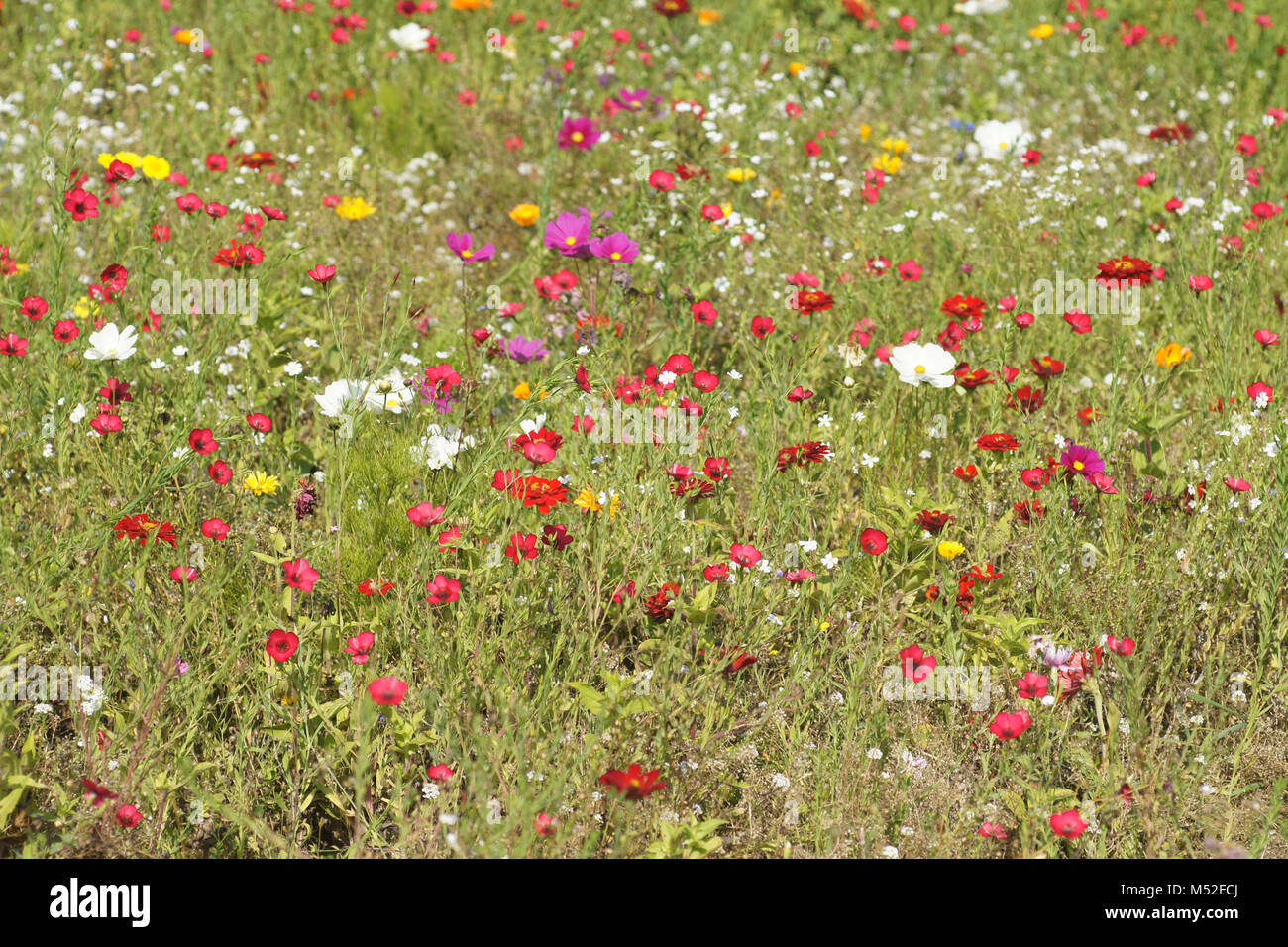 Linum grandiflorum, red flax - Stock Image