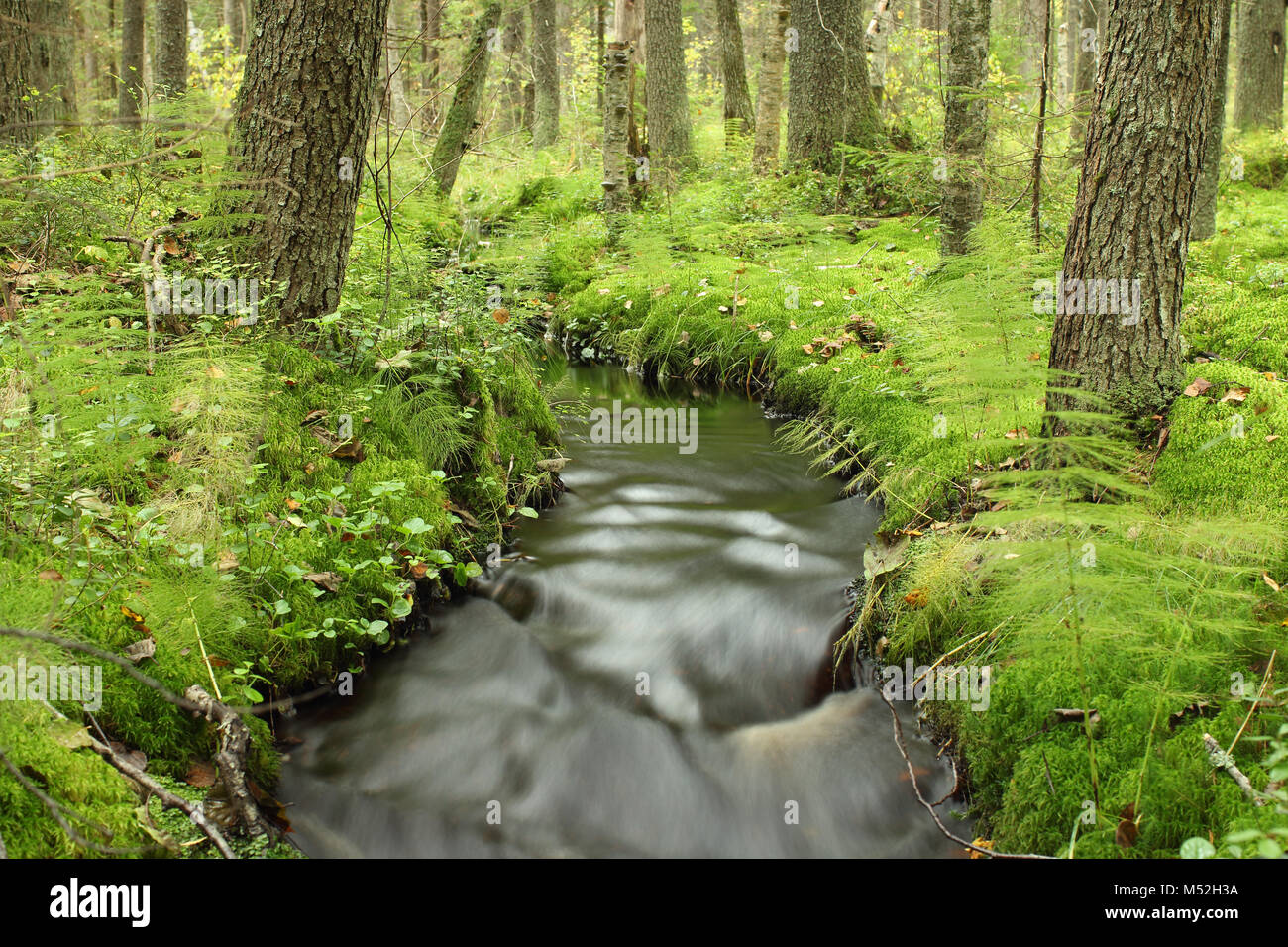 forest  brook  flows among the mighty trees - Stock Image