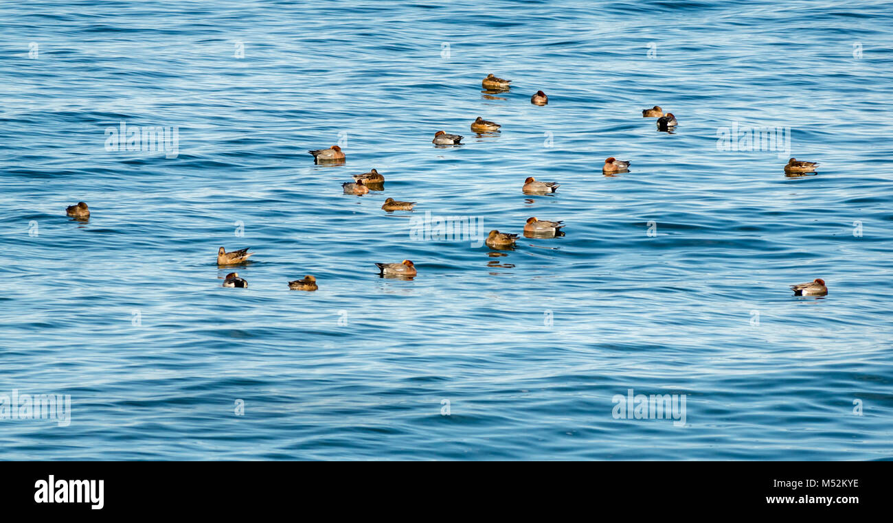 Zoomed view of flock of sleeping wigeon ducks, Anas penelope, in calm shimmering sea water, Spey Bay, Moray, Scotland, - Stock Image