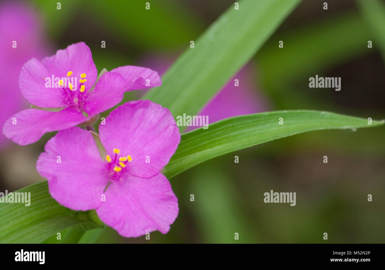Lavender Spiderwort Flowers Stock Photo