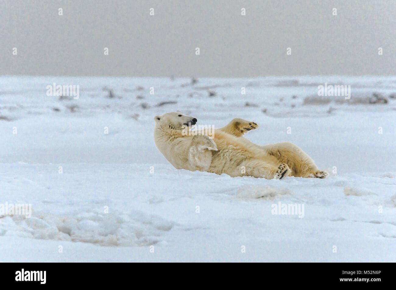 Polar bear rolling in snow near the village of Kaktovik, Barter Island, Alaska. Today, the primary conservation - Stock Image