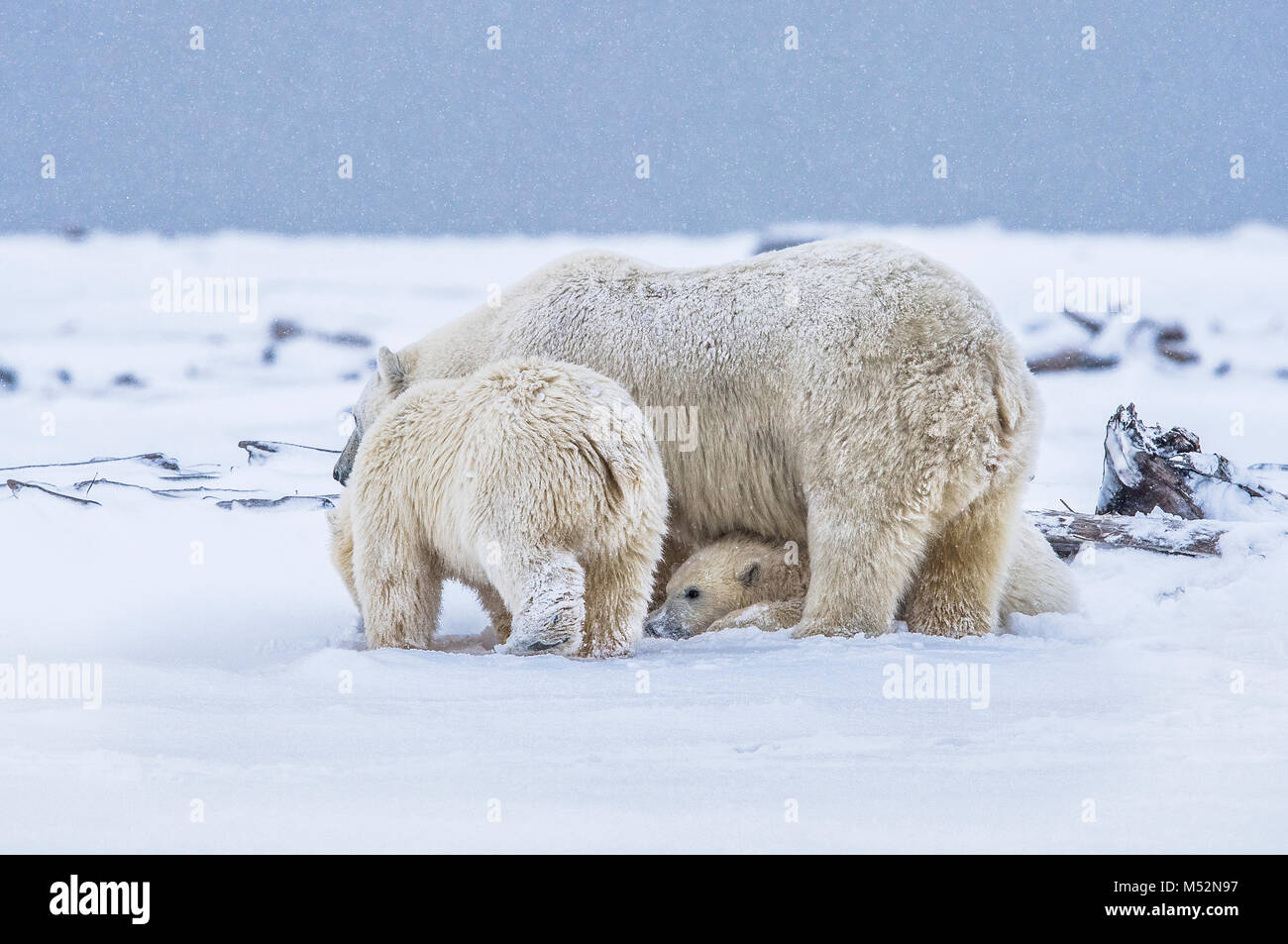 Polar bears playing in snowfall near the village of Kaktovik, Barter Island, Alaska. Today, the primary conservation - Stock Image