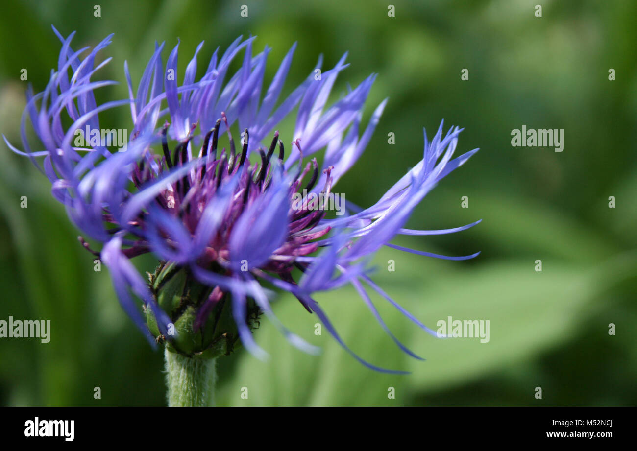Blue and purple spider flower stock photo 175237682 alamy blue and purple spider flower izmirmasajfo Image collections