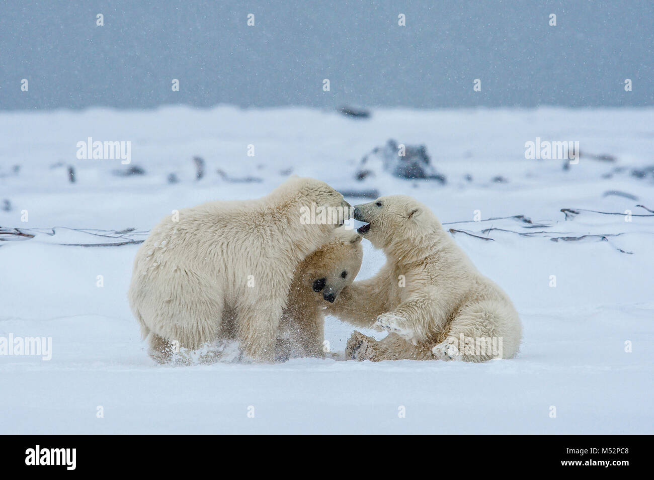 Polar bear cubs playing in fresh snow near the village of Kaktovik, Barter Island, Alaska. Today, the primary conservation - Stock Image