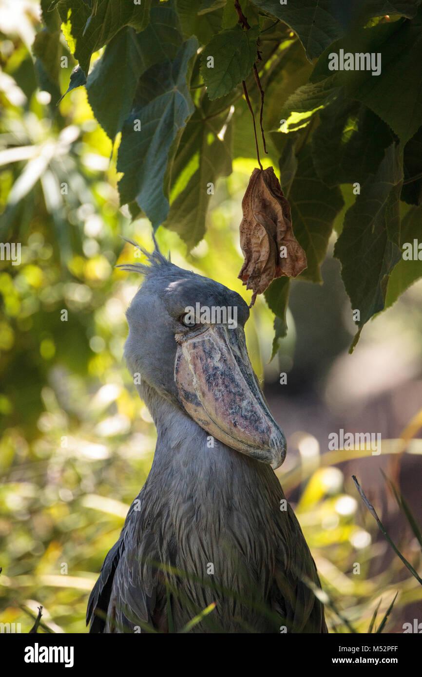 african shoebill stork stock photos amp african shoebill