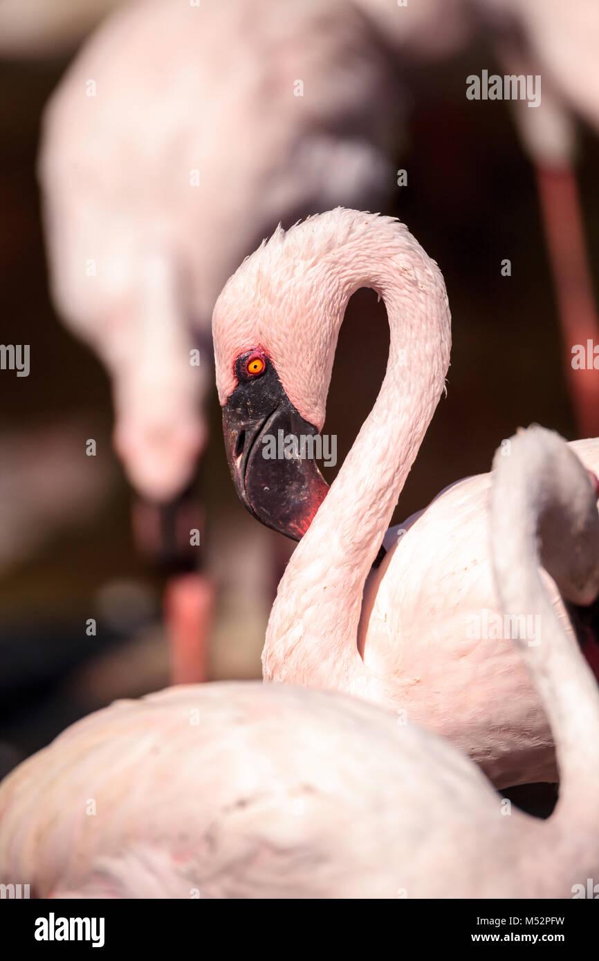 Pink lesser flamingo, Phoeniconaias minor Stock Photo