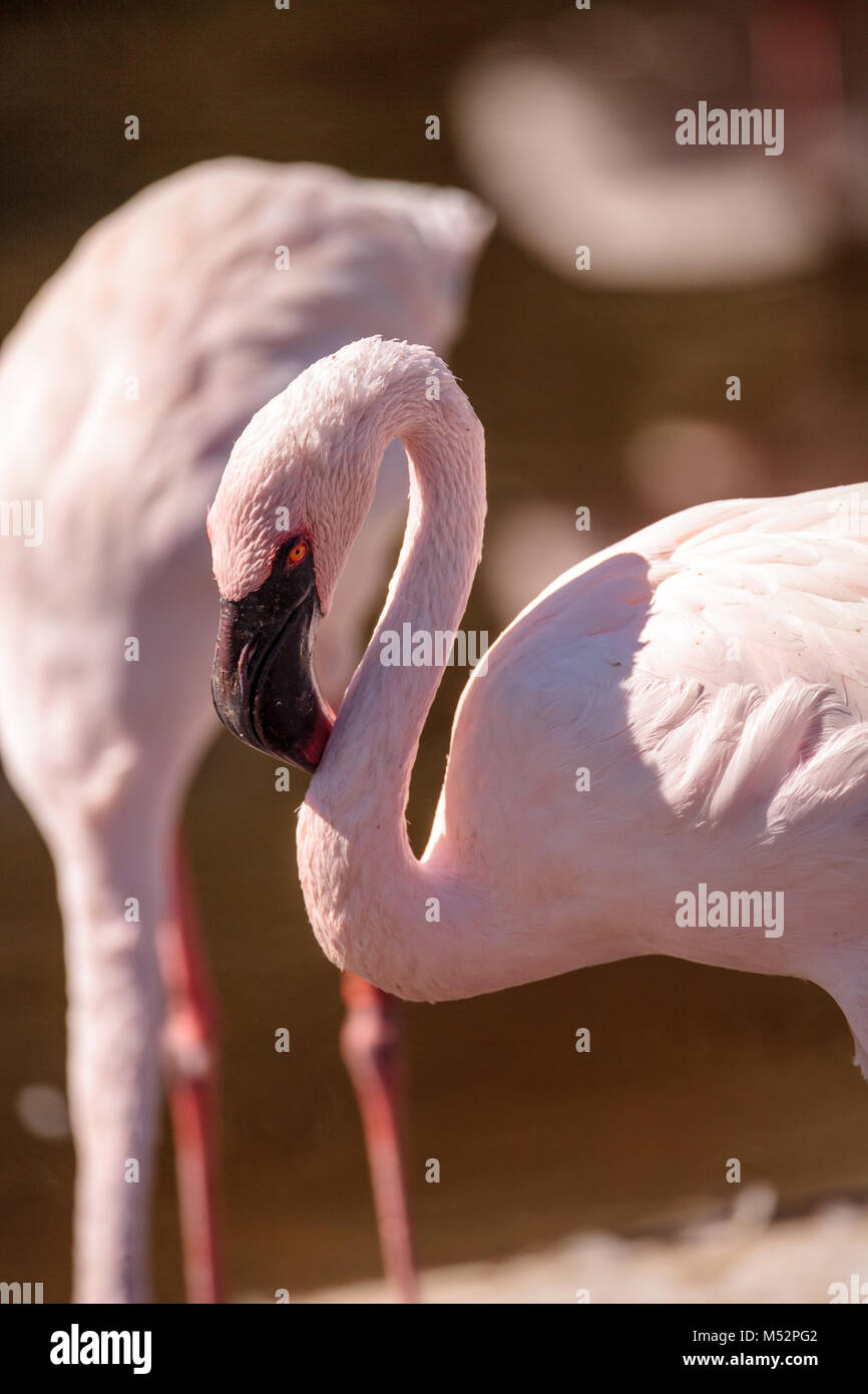 Pink lesser flamingo, Phoeniconaias minor - Stock Image