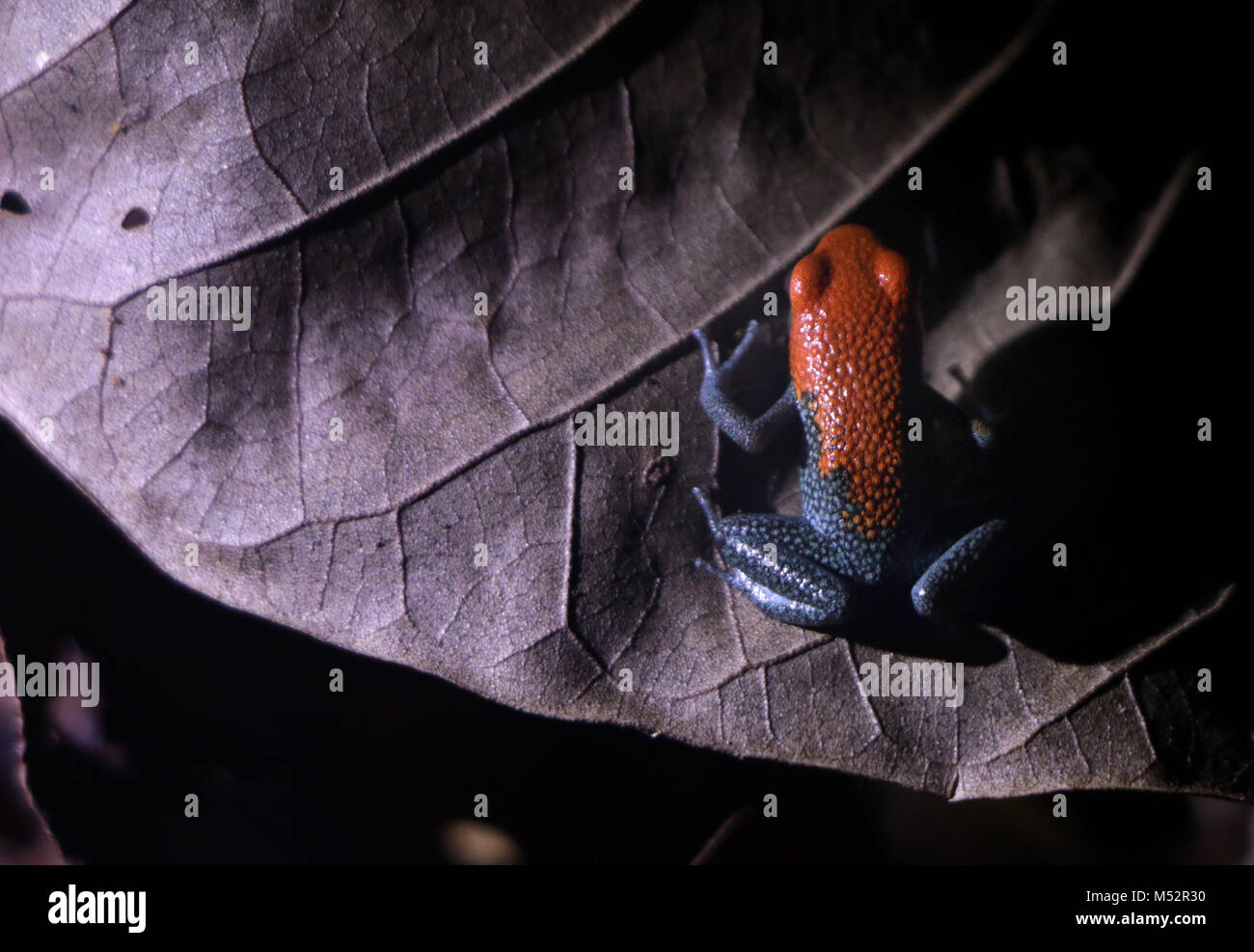 Blue-jeans Frog or Strawberry Poison-dart frog Costa Rica Stock Photo