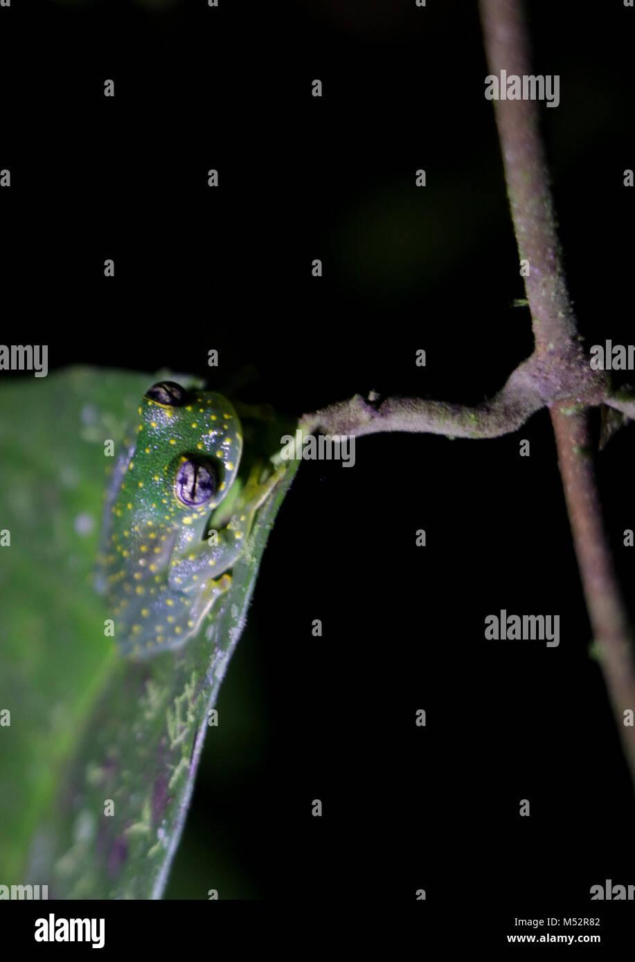 Cochranella glass frog Osa Peninsula Costa Rica Stock Photo