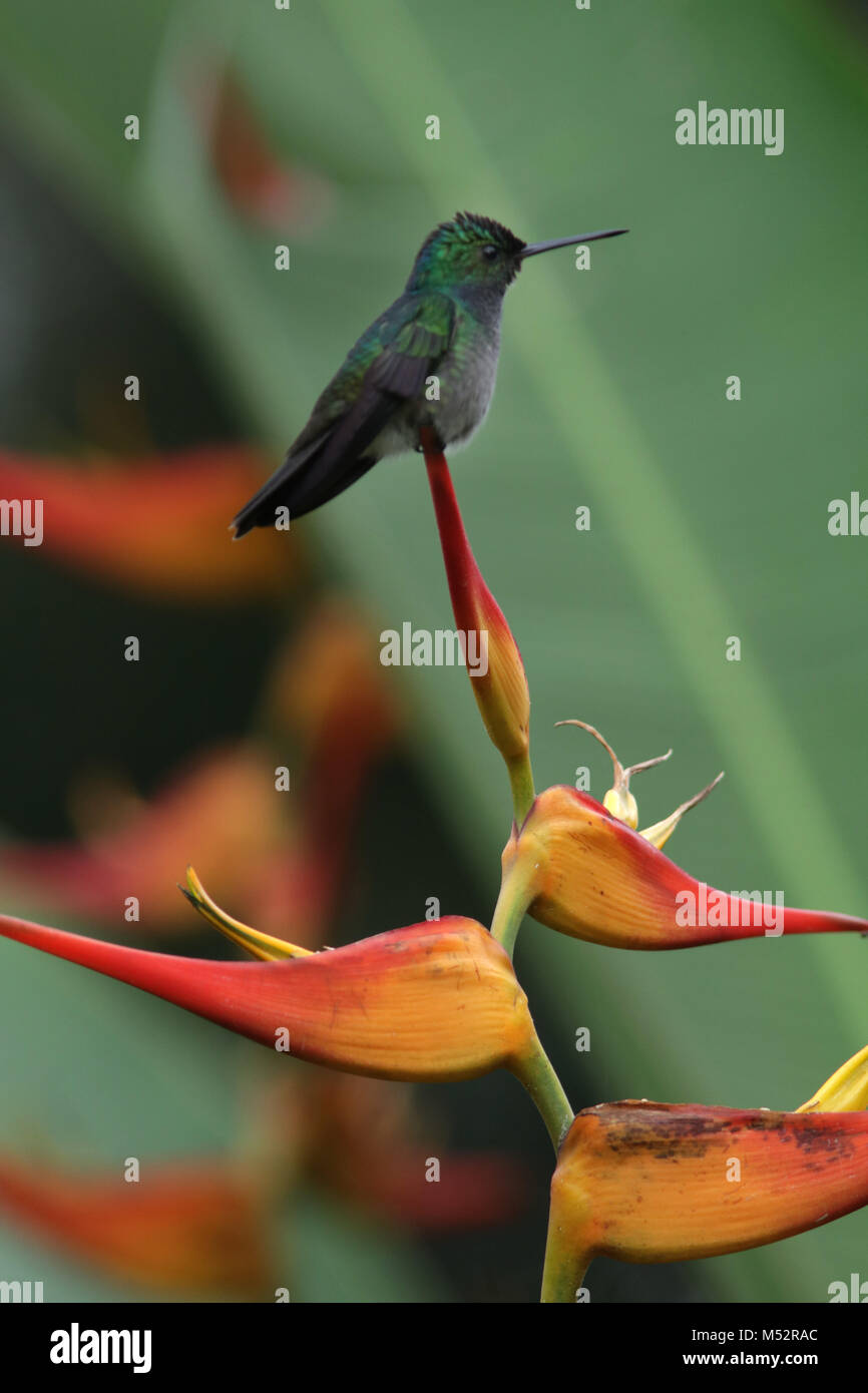 charming hummingbird (Amazilia decora) and also known as the beryl-crowned on Lobster Claw flower Costa Rica - Stock Image