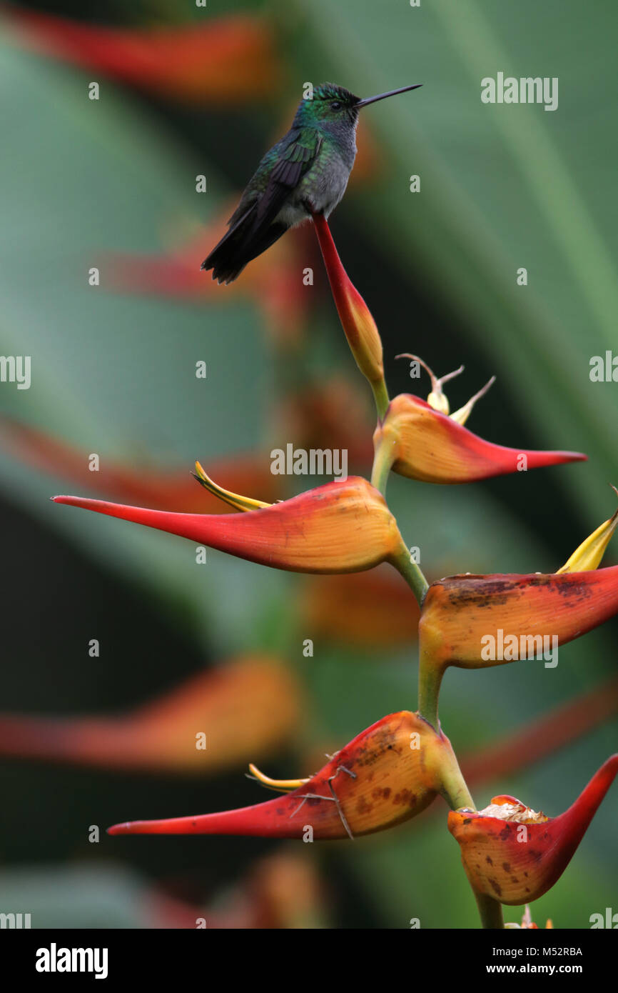 charming hummingbird (Amazilia decora) and also known as the beryl-crowned on Lobster Claw flower Costa RicaStock Photo