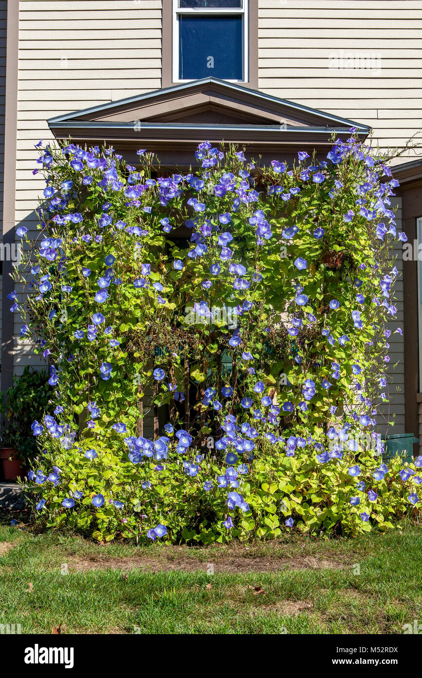 The front entrance to a private home in Lisbon, NH, USA is completely covered with overgrown blue Morning Glory - Stock Image