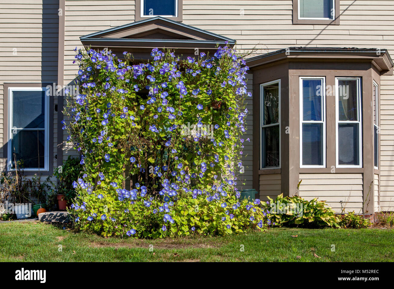 The front door of a home in Lisbon, NH, USA is completely covered with Morning Glory vines. - Stock Image