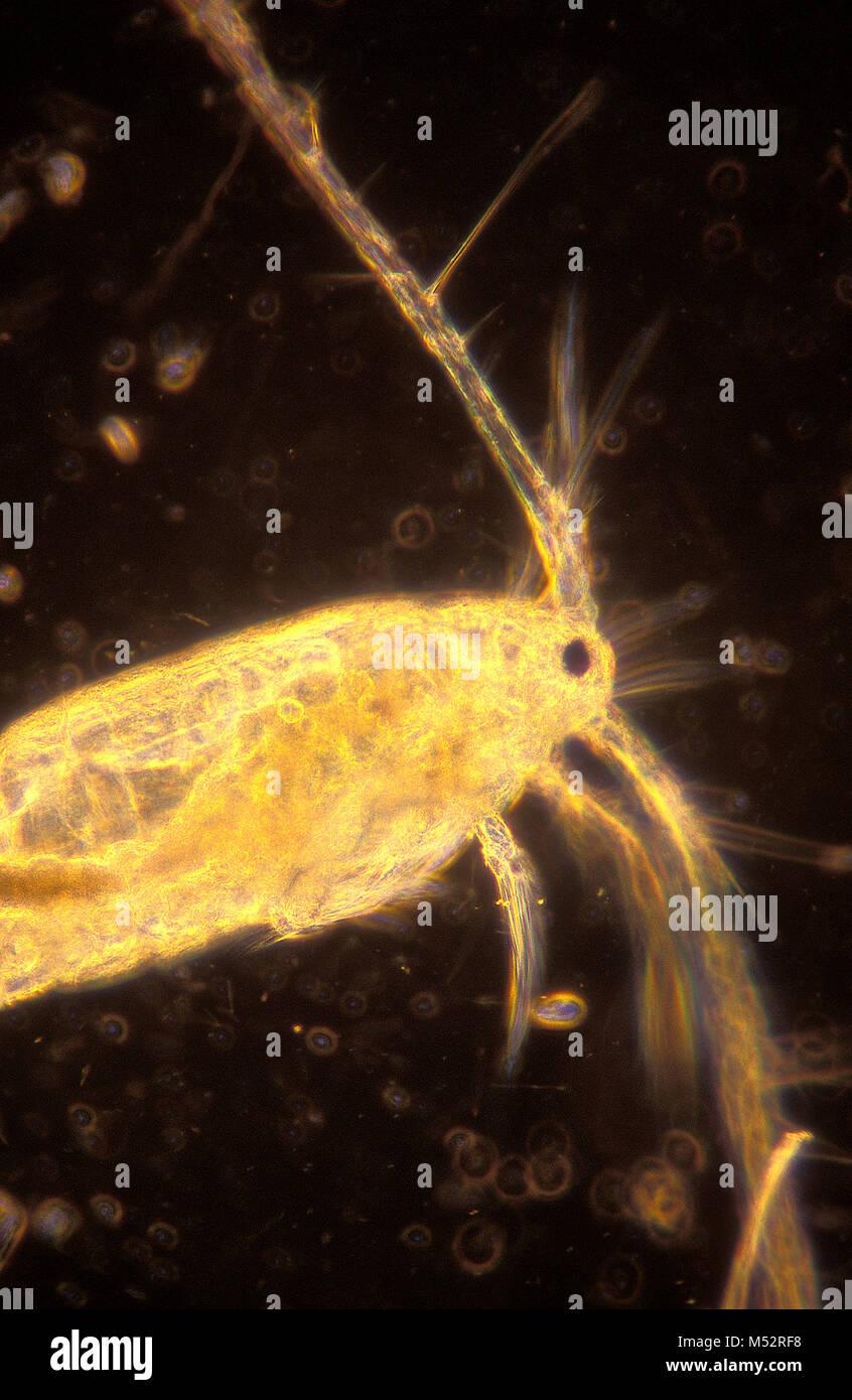 Copepod, plankton magnified 100X Stock Photo