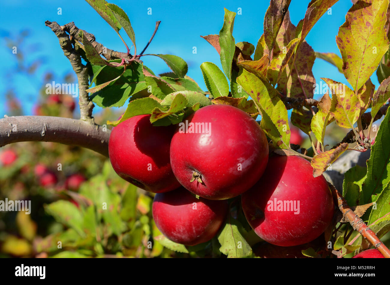 Red Delicious apples on the branch at Goolds Orchard, a pick your own apple picking farm in Castleton, New York, Stock Photo