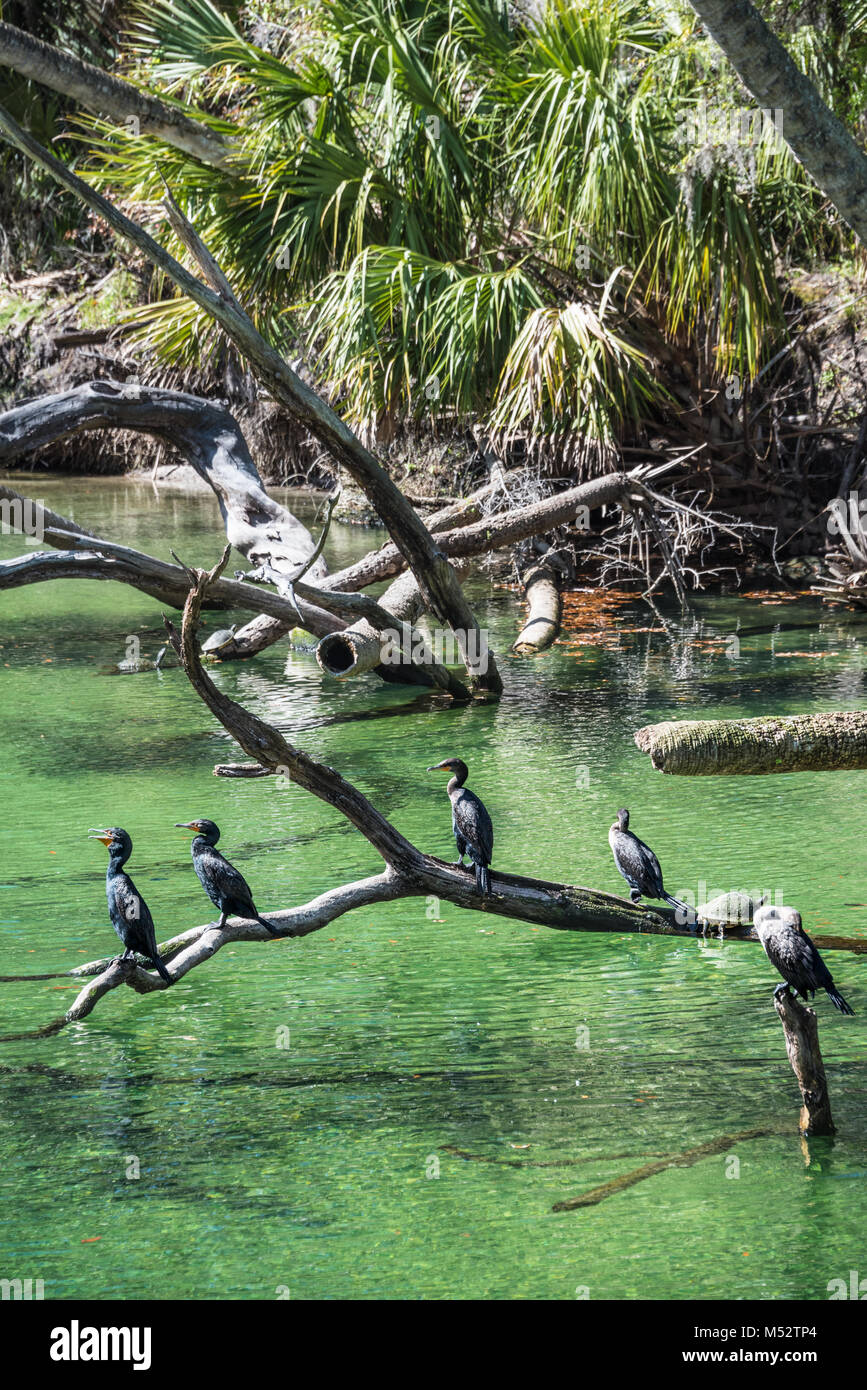 Anhingas (also known as snake birds or water turkeys) sunning over the clear green water at Blue Spring State Park, - Stock Image