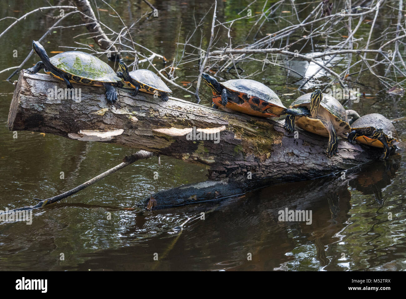 A row of yellow-bellied slider turtles sunning on a log at Ellie Schiller Homosassa Springs Wildlife State Park Stock Photo
