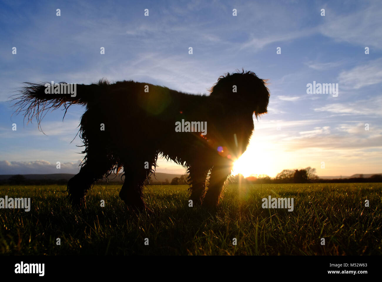 Small scruffy dog looking at the setting sun - Stock Image