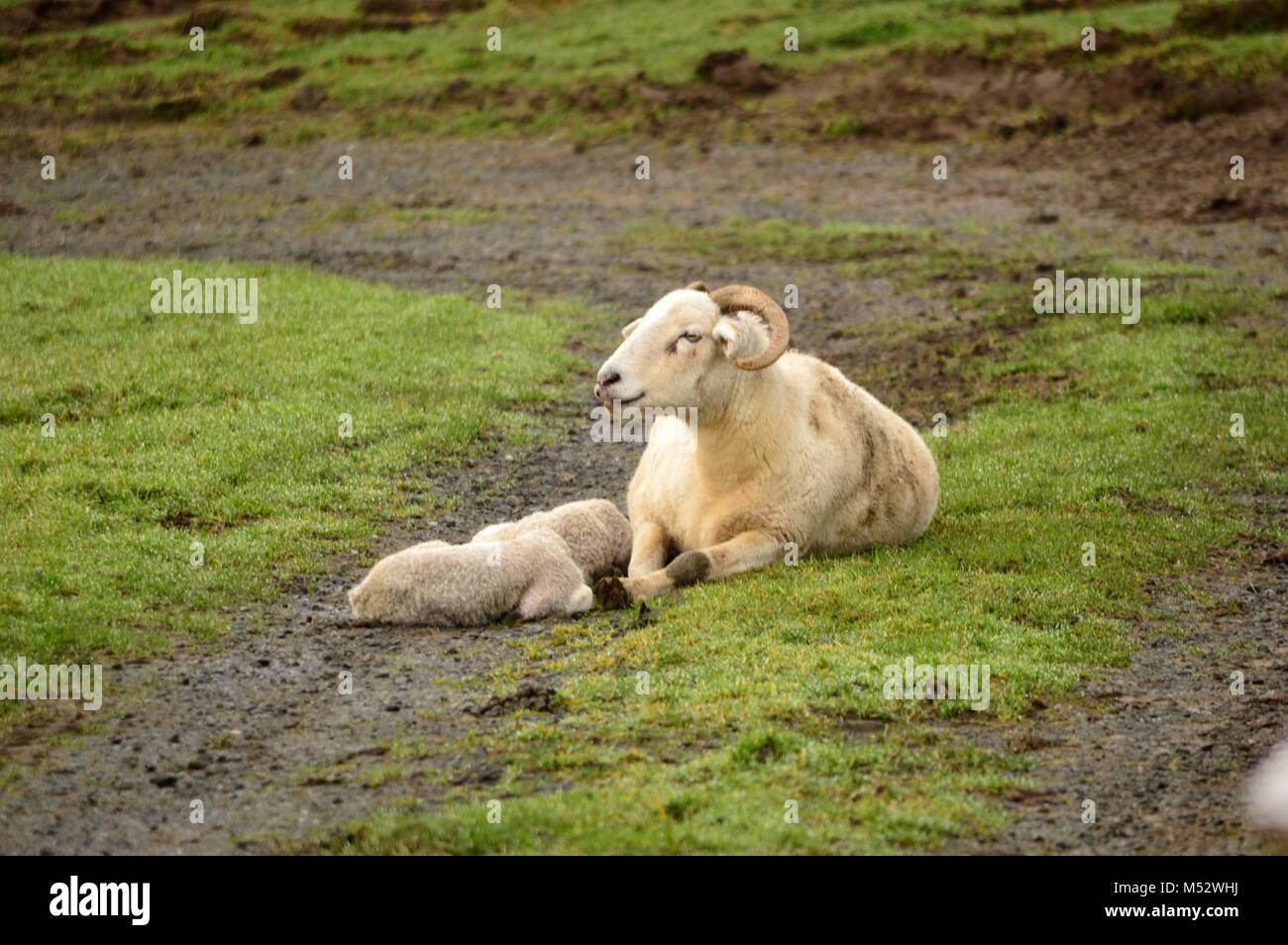 Wiltshire Horn Sheep - Stock Image