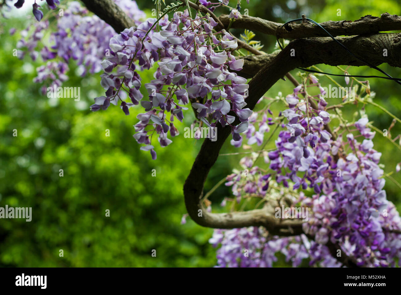 Pink Tree Flowers Shaking With Wind Stock Photo 175241734 Alamy
