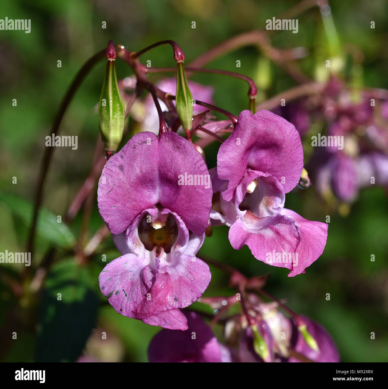 bee-bums; bobby tops; copper tops; Stock Photo