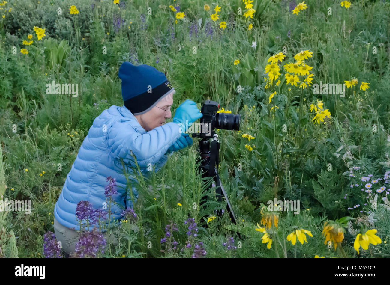Woman photographs summer wildflowers in Crested Butte, Colorado - Stock Image