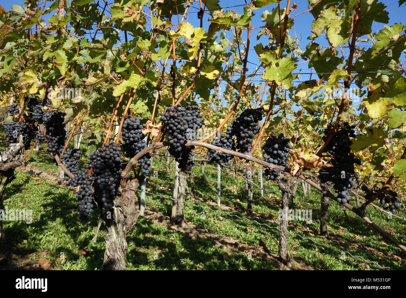 Vitis vinifera Cabernet Sauvignon, vineyard Stock Photo