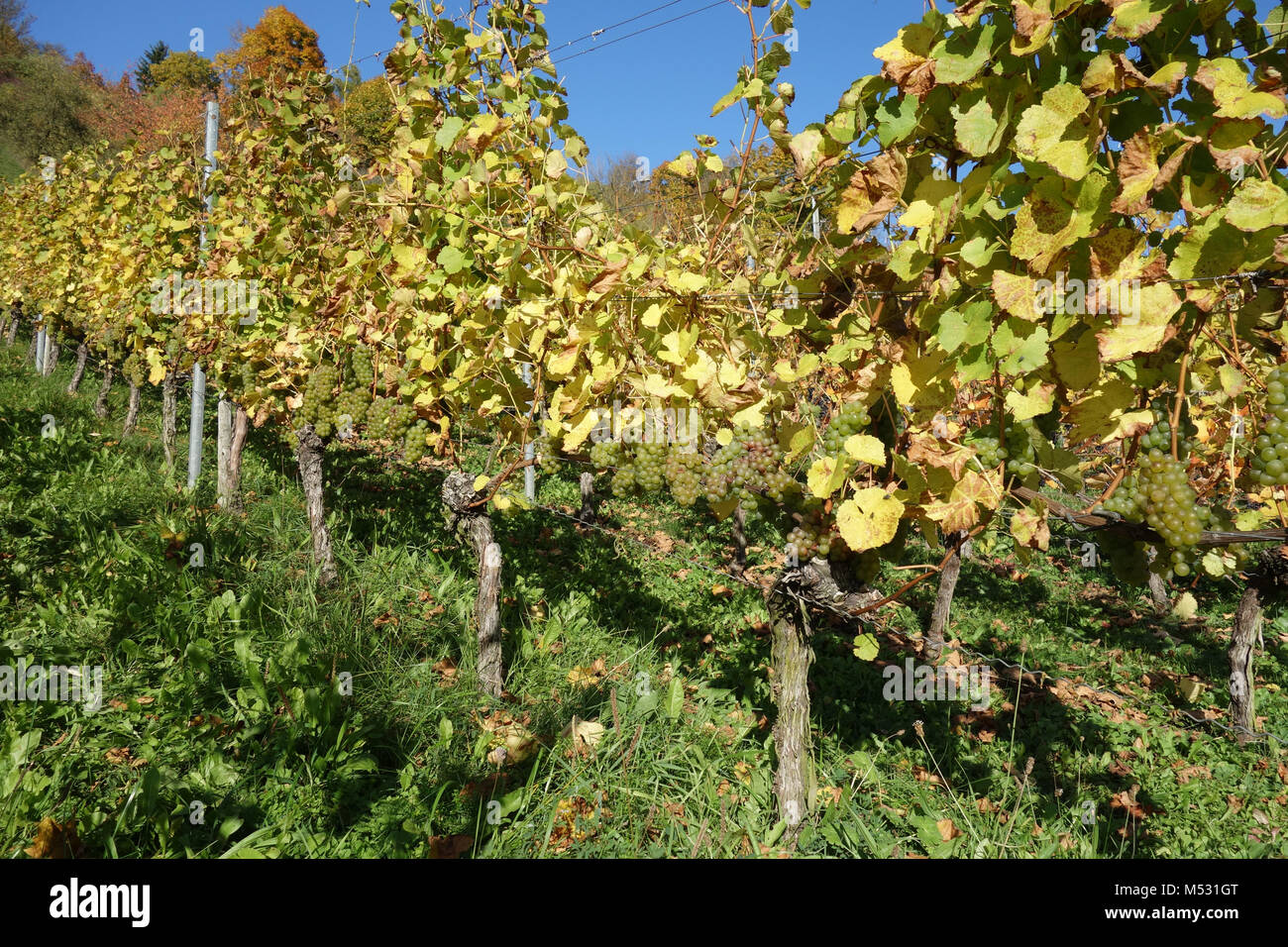 Vitis vinifera Silvaner, vineyard Stock Photo