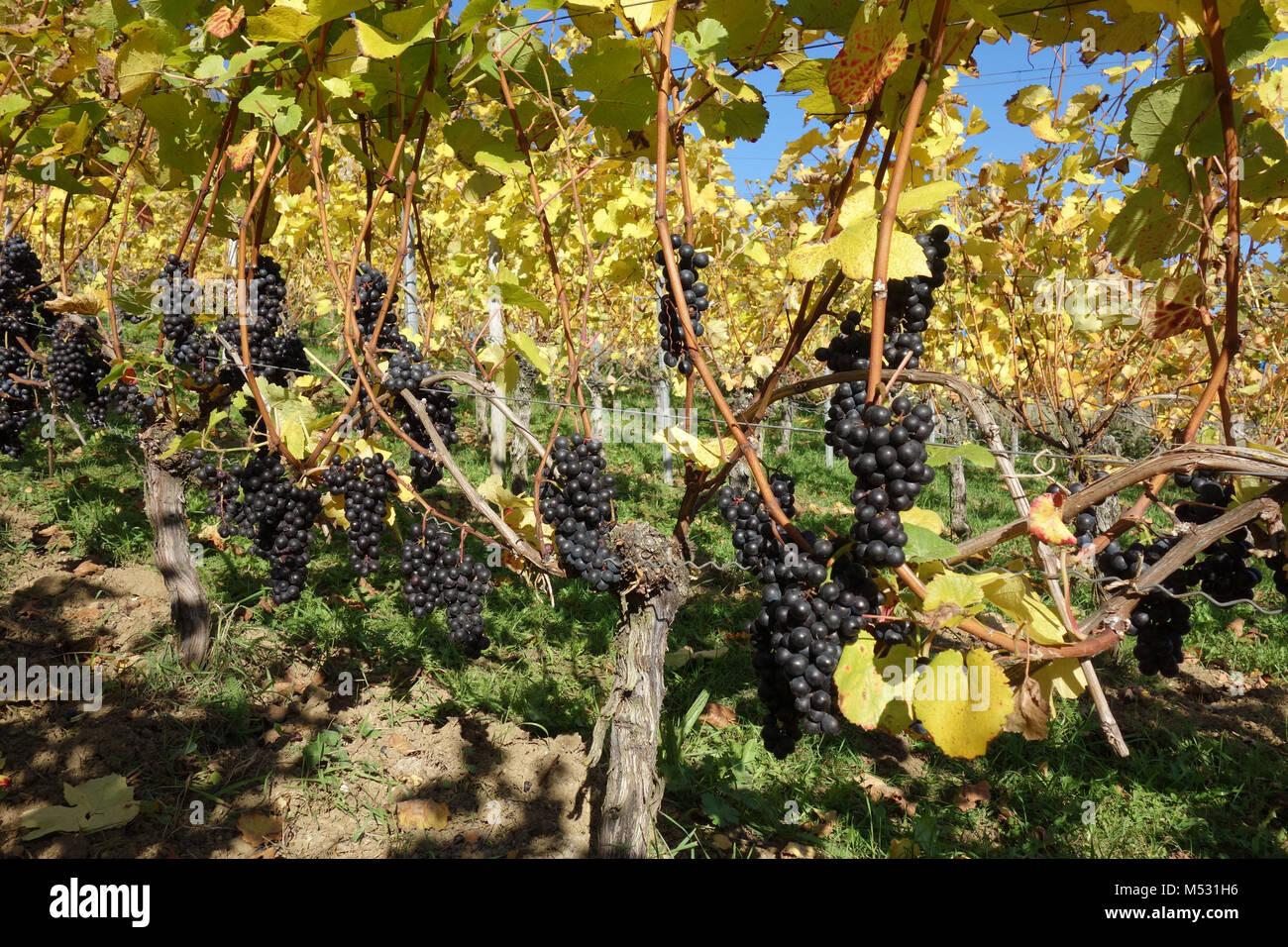Vitis vinifera Merlot, vineyard Stock Photo