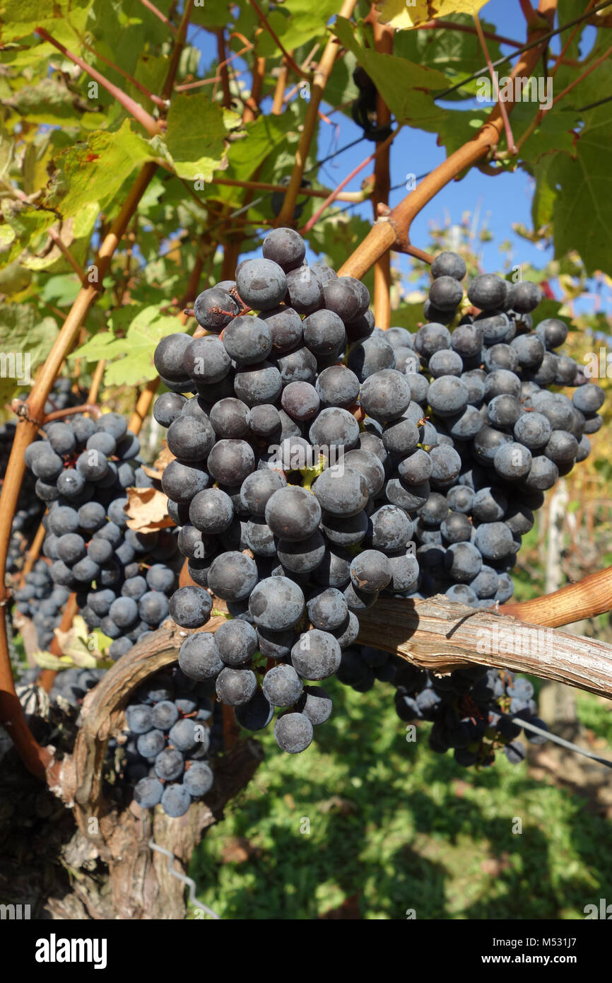 Vitis vinifera Cabernet Sauvignon, vineyard Stock Photo