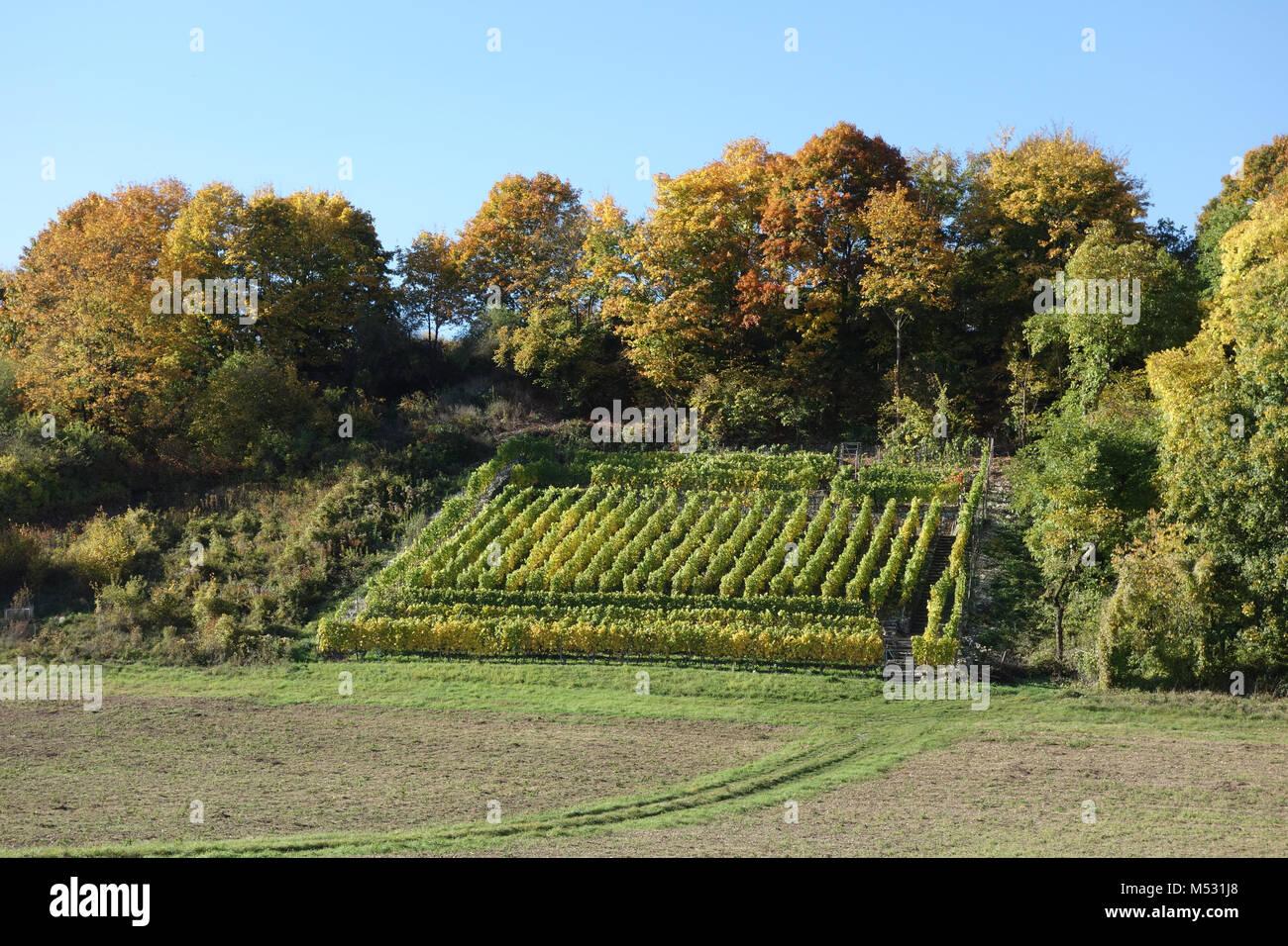 Vitis vinifera, vineyard, in autumn Stock Photo