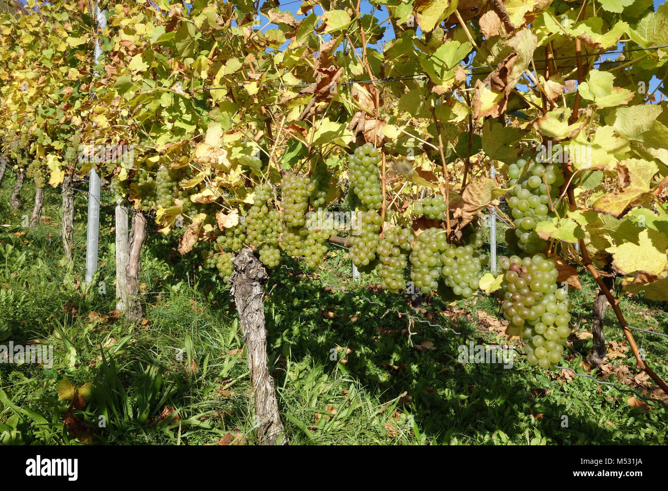 Vitis vinifera Silvaner, vineyard Stock Photo