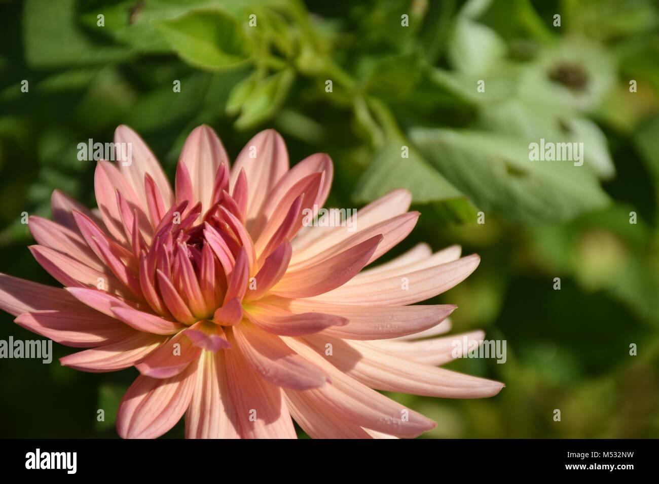 Beautiful Pink Dahlia (Georgina) Flower in the Garden on a Sunny Day. Stock Photo. Stock Photo