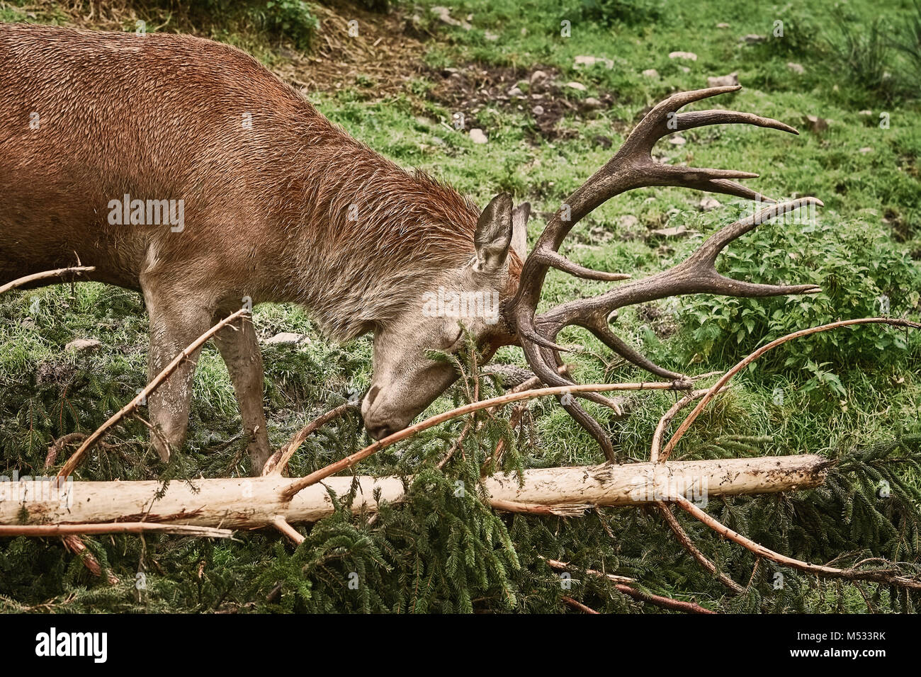 Deer Scratching Horns - Stock Image
