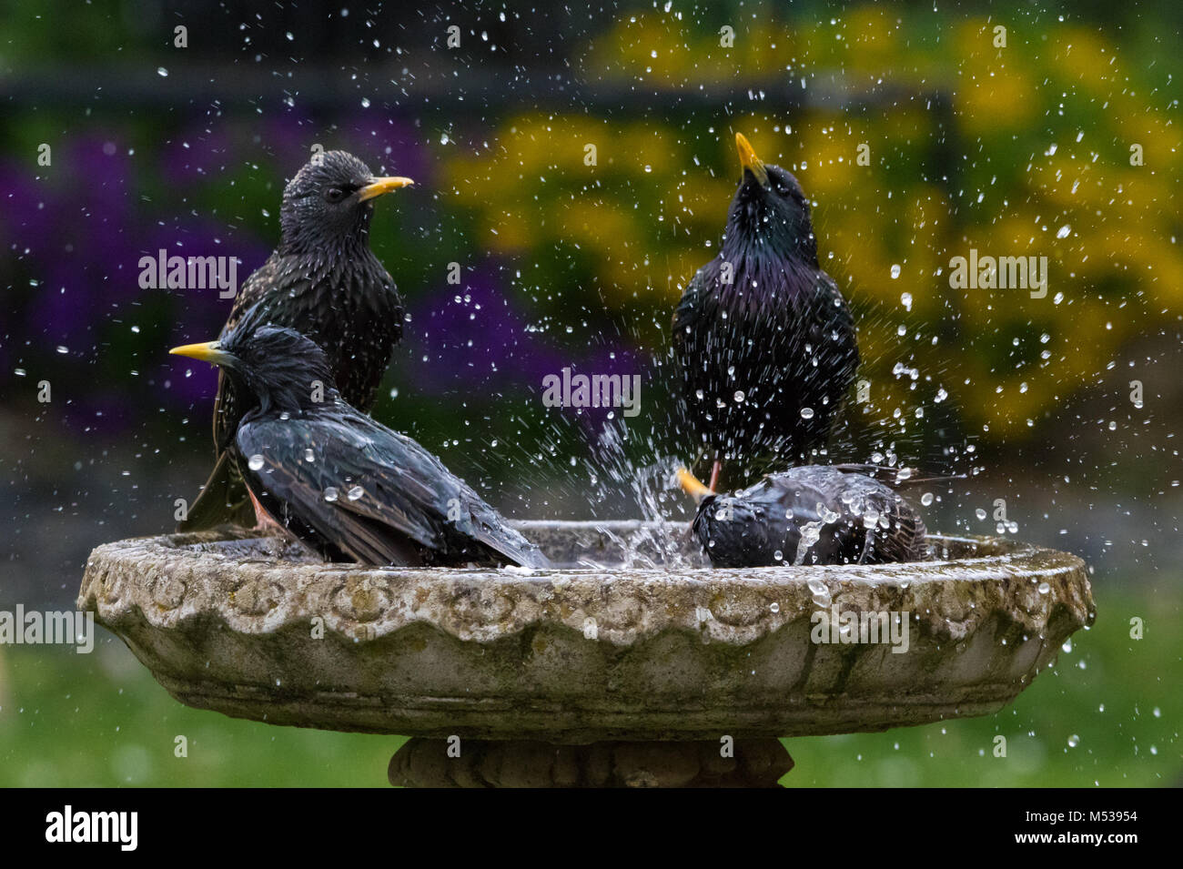 A group of starlings in a bird bath with water spray - Stock Image