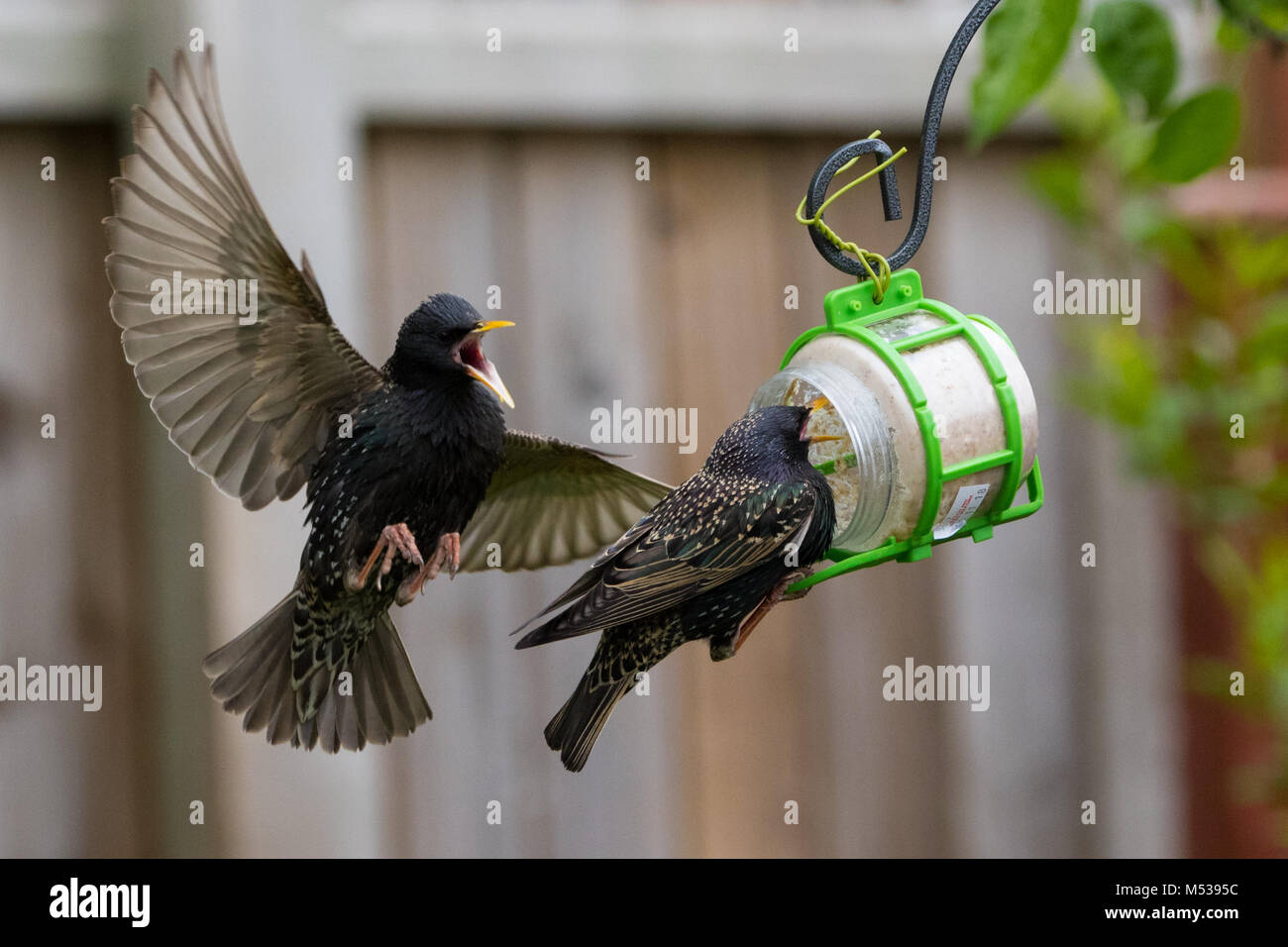 Starlings fighting over food in mid flgiht - Stock Image